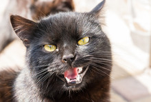Black Meowing Cat