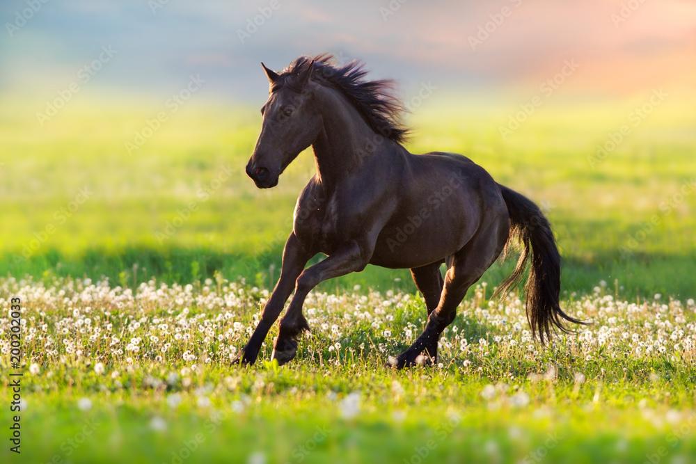 Black stallion run free on spring meadow