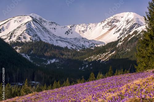 purpurowe-dzikie-krokusy-kwitnace-w-gorach