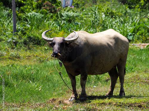 Staande foto Buffel Thai buffalo,water buffalo in Southern of Thailand.