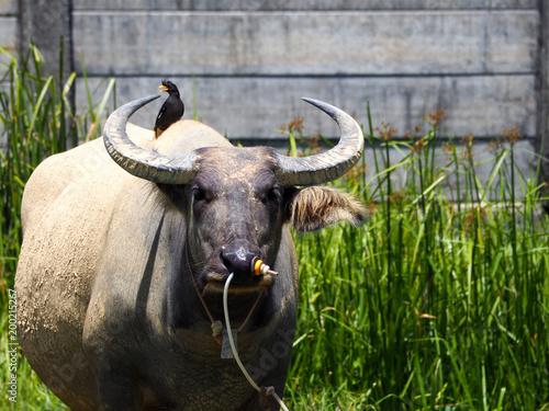 Foto op Aluminium Buffel Thai buffalo,water buffalo in Southern of Thailand.