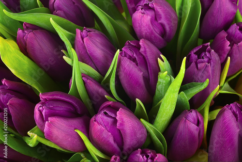 Poster Tulp Bouquet of purple tulips flowers for use as nature background.
