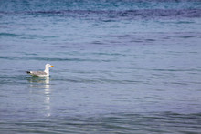 Seagull Carried By The Gentle Waves Of The Sea