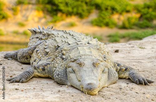 Poster Crocodile Orinoco crocodile (Crocodylus intermedius)
