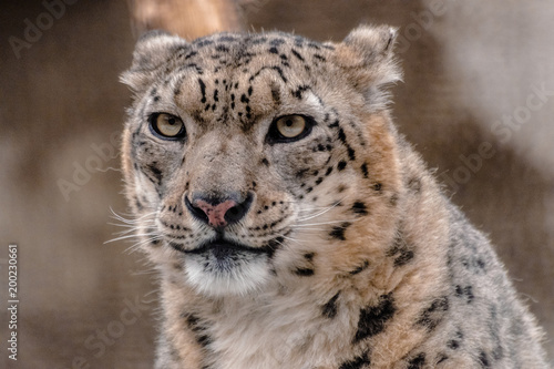 In de dag Panter Snow Leopard, (Panthera uncia) face very close looking at you
