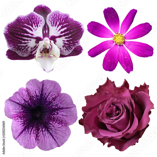 Fototapety, obrazy: Set of four purple flowers isolated on white background
