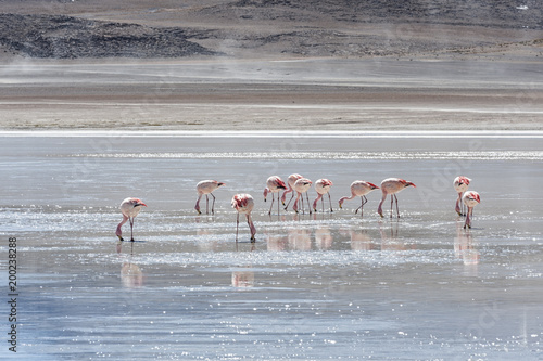 Pink Flamingos At Laguna Honda In English Deep Lagoon Sud Lipez Altiplano Reserva Eduardo Avaroa