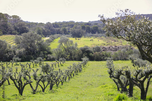 Fotobehang Grijs rural landscape with olive trees, lots of green and blue sky