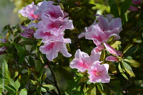 Deurstickers Azalea Flowers of Azalea