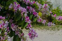 Bauhinia Variegata Orchid Tree Blooming In Springtime