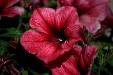 Petunias Rosa, Con Gotas De Rocio Sobre Fondo Natural