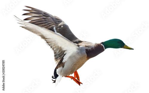 flying mallard duck drake isolated on white