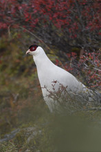 White Eared Pheasant And Veget...