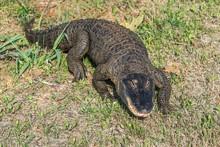 American Alligator Walking On ...