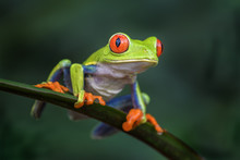Red-eyed Tree Frog - Agalychni...