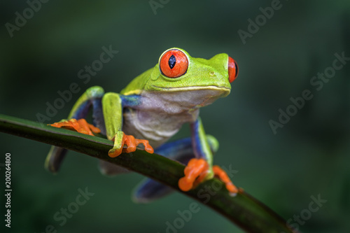 Spoed Foto op Canvas Kikker Red-eyed Tree Frog - Agalychnis callidryas, beautiful colorful from iconic to Central America forests, Costa Rica.