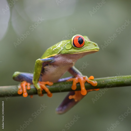 In de dag Kikker Red-eyed Tree Frog - Agalychnis callidryas, beautiful colorful from iconic to Central America forests, Costa Rica.