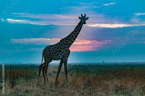 Foto op Canvas Giraffe giraffe in the sunrise