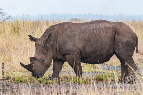 Photo  white rhino