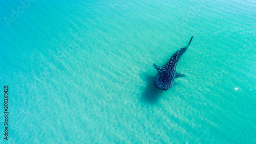 Fototapeta premium Whale Shark (rhincodon typus), the biggest fish in the ocean, a huge gentle plankton filterer giant, swimming near the surface. La Paz Baja California sur, Mexico.