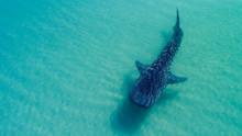 Whale Shark (rhincodon Typus),...
