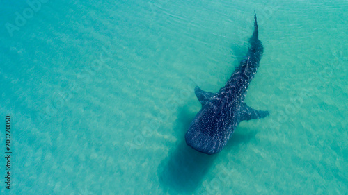 Whale Shark (rhincodon typus), the biggest fish in the ocean, a huge gentle plankton filterer giant,  swimming near the surface. La Paz Baja California sur, Mexico.