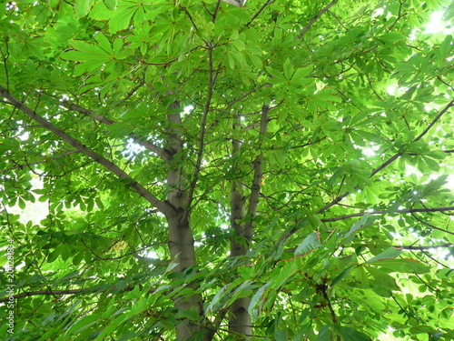 Fotobehang Bamboo leafs of chestnut