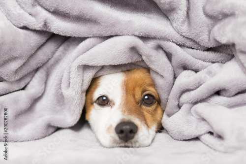Foto portrait of a cute young small dog looking at the camera with a grey blanket covering him