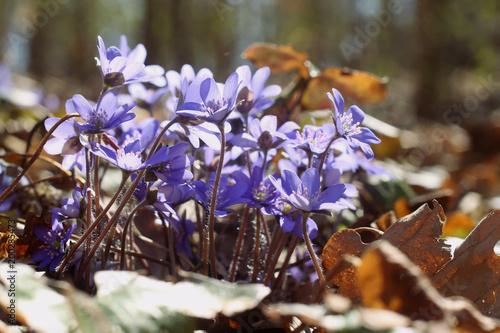 Foto auf Gartenposter Landschappen First spring flower Anemone hepatica. Violet common hepatic, liverwort or kidneywort in forest.
