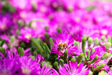 Bee Close-up On Pink Ice Plant...