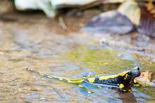 Salamander Im Wasser