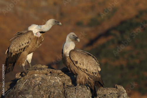 Wall Murals Horses Griffon vulture - fly over the hills