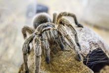 A Huge Spider, Goliath Bird-ea...
