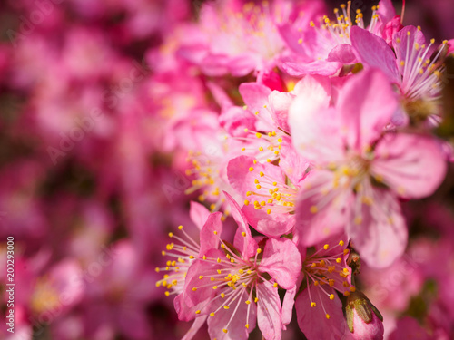 In de dag Candy roze Red plum flowers with blur background