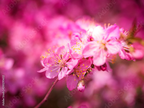 Staande foto Roze Red plum flowers with blur background