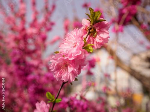 Foto op Plexiglas Crimson Pink plum tree flowers