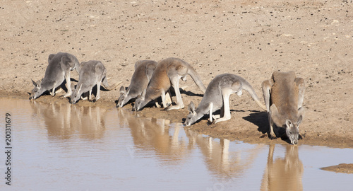 Red Kangaroos drinking at  a waterhole in the far west of New South Wales, Australia