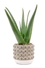 Aloe Vera Plant In A Cement Po...