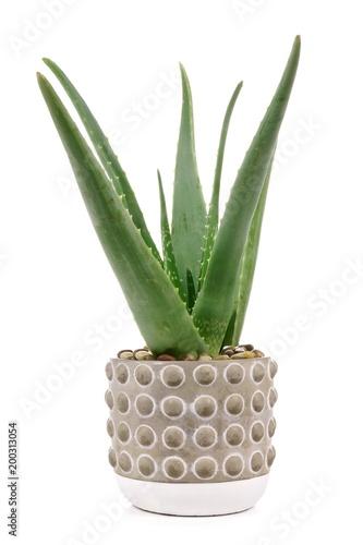 Carta da parati  Aloe vera plant in a cement pot isolated on a white background