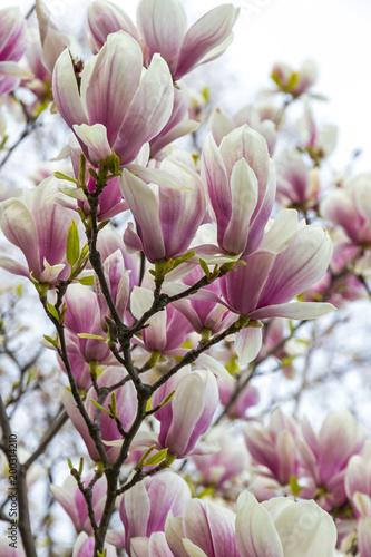Deurstickers Magnolia Pink magnolia flowers in the garden
