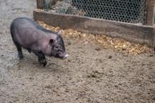A Little Black Pig Walks Around The Yard