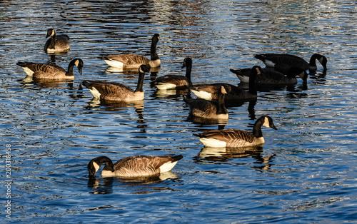 Fotografia, Obraz Gaggle of Geese