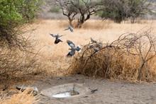 Africa Morning Doves