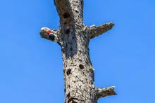 Rare Red Headed Woodpecker: Ra...