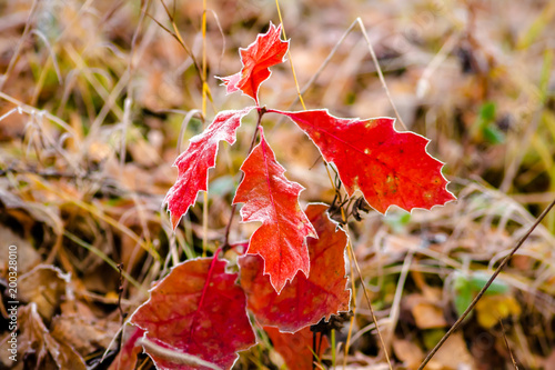 Juicy red leaves on a frosty morning in November