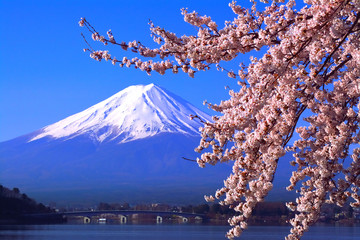 Fototapeta 河口湖北岸から満開の桜と青空の富士山 2018/04/10