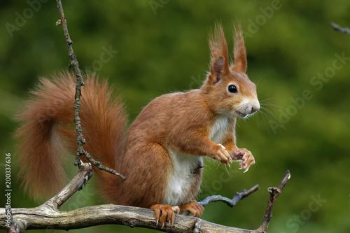 Foto op Canvas Eekhoorn Eichhörnchen