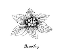 Hand Drawn Of Bunchberry On Wh...