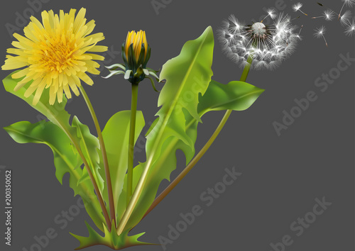Fotografie, Obraz  Common Dandelion (Taraxacum officinale) - Detailed Illustration of Plant Isolate