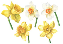 Watercolor Daffodil Flowers Wi...